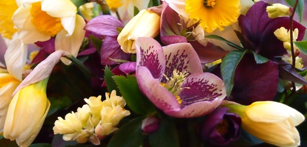 Helleborus, daffodils, and Winter Hazel from the garden.  In bloom now.